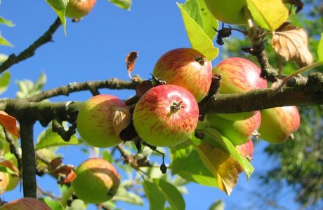 Best Apples for Baking   Culinary School Tips